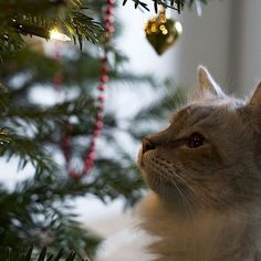 """""""What is all this shine and glitter hooman?! """" Casper lost his interest in the Christmas tree quite fast though haha.. Right now he is playing with his paper balls again ☺️"""