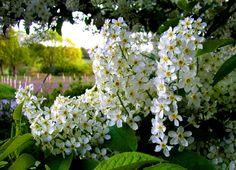 Черёмуха, или душистое дерево. Черемуха – по всем показателям неприхотливая культура, выращивать ее несложно. Она нетребовательна к качеству почвы, освещению и поливу. Черёмуха обыкновенная (лат. Prúnus pádus) — вид невысоких деревьев (изредка кустарников) из рода Слива семейства Розовые (Rosaceae). Также черёмуху обыкновенную называют: Черёмуха кистевая, или Черёмуха птичья. Культивируется как декоративное растение. Ранее относилась к подроду Черёмуха (Padus) рода Слива, сейчас относят к…