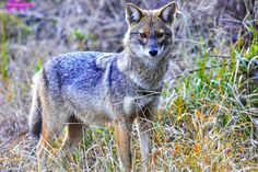 JACKAL-- CORBETT. | A community of wildlife photographers to share their photographs, experiences and follow other wildlife photographers.