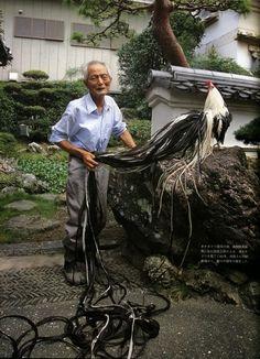 Japanese Onagadori Chicken | ... onagadori means long tailed chicken in japanese also honorable chicken