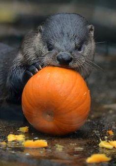 Otters at the Florida Aquarium get Halloween pumpkins.i want an otter eating a pumpkin Animals And Pets, Baby Animals, Cute Animals, Wild Animals, Otter Love, River Otter, Little Critter, Weird Creatures, Fauna