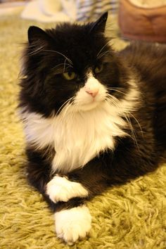 Free high resolution photo of a long haired black and white tuxedo cat lying on the floor in a sort ofsphinxposition with its front paws crossed. Description from photos-public-domain.com. I searched for this on bing.com/images