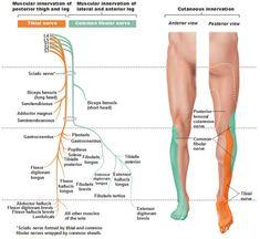 Tibial Nerve and Common Fibular (Peroneal) Nerve Spinal Nerve, Sciatic Nerve, Nerve Pain, Sciatica Pain, Nerve Anatomy, Lymph Massage, Neck Massage, Massage Room, Nursing