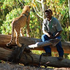 Book your cheetah walk today with Tenikwa Wildlife Awareness Centre near Plettenberg Bay, South Africa - Dirty Boots Adventure Holiday, Adventure Tours, Tsitsikamma National Park, Popular Holiday Destinations, Adventure Activities, Outdoor Activities, South Africa, Wildlife