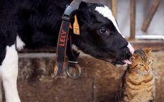 子牛と猫の友情|ぽんちゃんからの伝言