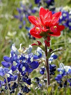 Bluebonnets and wild flower season