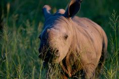 Baby White Rhino - what a shame that man feels the need to hunt these exquisite animals down because of a myth about the healing powers of their horns