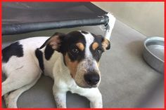 Pudding is just one of the many great pups needing homes. Pudding is 1 year old , small , female , JRT/Beagle mix , stole my heart , very loving. ID #A483653 Needs out July 8 San Bernardino City Shelter in San Bernardino , CA 909-384-1304