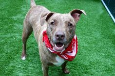 HAZEL - A1119274 - - Manhattan  TO BE DESTROYED 07/28/17 A volunteer writes: Her gorgeous swirling coat reminds me of the sweetest marble cake, or the finest marble from Italy's quarries. She's stunning! Ready to be leashed, we're out the door so she can go potty and show off her lovely leash manners. It's easy to tell she's been a part of a loving family that included children of all ages. Surrendered to our care due to a new and not pet-frien