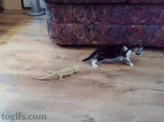 Lizards and a cat