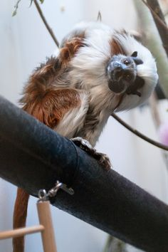 Liszt, a cotton-top tamarin. Funny how these tiny primates always look at you askew...