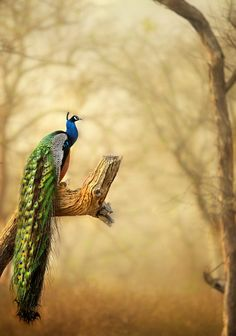 This was clicked on the morning safari at Bandipur Tiger Reserve, Karnataka, India. When we were in search of Tigers, this moment made me to stop the vehicle and grab the camera as the peacock was at the right place and the those feathers ! Oh my god was shining at sunrise light ! The background was covered with Fog, so i took the advantage of that and changed the white balance to SHADE (Nikon). It was an amazing Moment in my wildlife journey. I am very happy to share here !