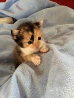 [Tiny Calico Kitten Rescued Hours After Birth]-------- ** The title implies 'hours after birth' - the eyes wouldn't even be open yet. So we can safely assume this bud is about six weeks here? Kittens Cutest Baby, Newborn Kittens, Kittens And Puppies, Cute Cats And Kittens, Baby Cats, Cool Cats, Ragdoll Kittens, Funny Kittens, Bengal Cats