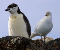 Snowy (Pale-faced) Sheathbill (Chionis albus) shares a rock with a Chinstrap Penguin.