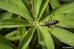 "Download the royalty-free photo ""Capricorn bug. big black beetle in garden macro photography. Morimus funereus. Cerambyx cerdo. longhorn"" created by stillforstyle at the lowest price on Fotolia.com. Browse our cheap image bank online to find the perfect stock photo for your marketing projects!"