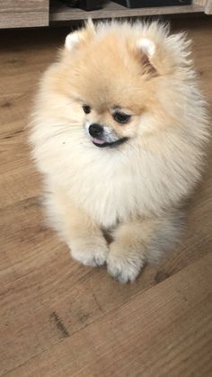 All About Pomeranian Puppy Birthday Source by asimfloyd The post Pomeranian Puppy Friends appeared first on Dogs and Diana. Animals And Pets, Baby Animals, Cute Animals, Little Dogs, Cute Puppies, Cute Dogs, Pomes, Save A Dog, Lap Dogs