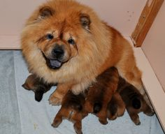 Sandy with her puppy and Merlot's 5 puppies.