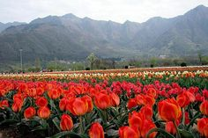 Pictures of Tulip Garden images, pictures of Srinagar Images