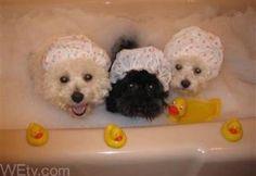 rub-a-dub-dub - bichons in a tub