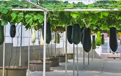 Growing fruits and vegetables vertically can be done with even the heaviest harvest.  These Winter Melons were seeded back in May and are so large that each one has to be hung with extra strong ropes from the trellis system.
