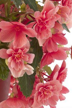 Waterfall Begonia 'Victoria Pink'
