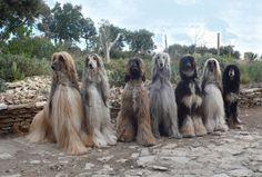 Afghan Hounds - via Facebook, Club Colimense del Galgo Afgano