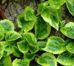 Firefly Variegated Climbing Hydrangea Vine - Live Plant - Quart Pot ** For more information, visit image link. Hydrangea Potted, Smooth Hydrangea, Climbing Hydrangea, Hydrangea Garden, Hydrangeas, Front Yard Decor, Hydrangea Macrophylla, Lawn And Garden, Garden Bed