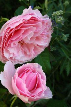 Rose 'Royal Highness'