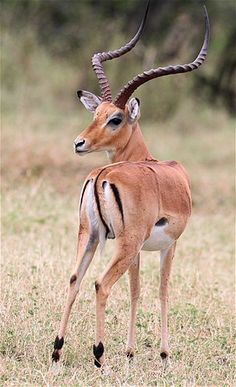 Impala (© Noor Khamis/Reuters)