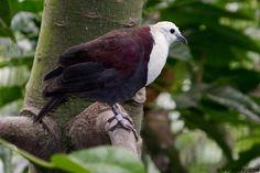 White-breasted Ground Dove (Gallicolumba jobiensis)
