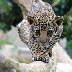#leopardcub #travel #traveleze #traveling Leopard Cub, Leopards, Panther, Cute Animals, Traveling, Holiday, Instagram Posts, Pretty Animals, Viajes