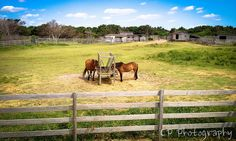 """Wild"" Horses on Ocracoke Island - Outer Banks, NC"