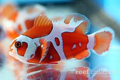 The Peace Keeper Maroon Clownfish is an exciting new strain of Premnas biaculeatus from Captive-Bred, an ornamental fish breeding company based in Israel. Saltwater Aquarium Fish, Saltwater Tank, Freshwater Aquarium, Marine Aquarium, Marine Fish, Underwater Creatures, Ocean Creatures, Colorful Fish, Tropical Fish