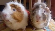 Two guinea pigs discuss the merits of pumpkin spice lattes