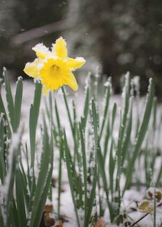 daffodil in the snow by aliciarae81, via Flickr