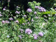 A beautiful companion plant and green manure Phacelia tanacetifolia