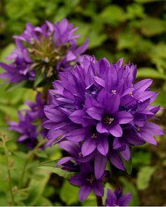 clustered bellflower   campanula glomerata 'Superba'