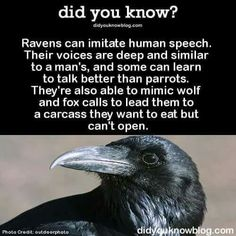 I want to train a raven to talk and pretend I've never heard it talk before freaking people out
