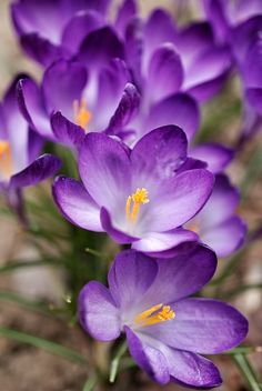 crocus by Man Ching Cheung Flowers For You, Flowers Nature, Real Flowers, Colorful Flowers, Purple Flowers, Beautiful Flowers, My Flower, Flower Power, Victorian Flowers