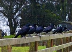 At a Tara Celebrations get-together, or when we visit Tara on our own, one particular bird often shows up.... and appears to join in with us....  Quotes taken from our archives of pre 2018 celebrations  Samhain 2008 - Tara. The black crows circled as we circled... and summer turned to winter in the season of samhain...  Winter Solstice 2017 - Tara. Crow takes up a high vantage place on Patrick's head. Solstice 2017, Winter Solstice, Ireland Landscape, Samhain, Crows, Dusk, Garden Sculpture, Celebrations, This Is Us