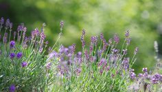 Lavendel im Sommergarten / Lavender in Summer by Tanja Riedel on 500px