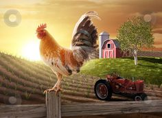 Free Pictures of Farmers   Country Farm Morning stock photo, Rooster perched upon a farm fence ...