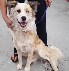 Check out Zeus' profile on AllPaws.com and help him get adopted! Zeus is an adorable Dog that needs a new home. https://www.allpaws.com/adopt-a-dog/australian-shepherd-mix-border-collie/6507161?social_ref=pinterest