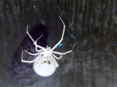 Albino Black Widow. Like they aren't heebie jeebie enough when they are black!!!!