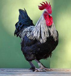 Le poulet de Bresse, race française AOC depuis 1957 !