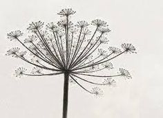 cow parsley hand drawn - Google Search