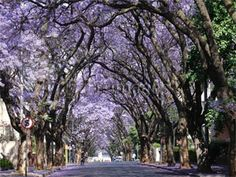 Rosebank is a trendy northern Johannesburg suburb, with tree lined streets edging a business hub, shopping malls, eateries and . Syringa, Beautiful Places In The World, Holiday Destinations, South Africa, Tourism, Uni Room, Country, Plants, Trips