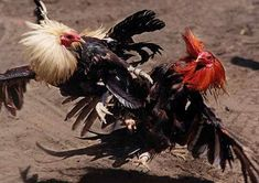 Xingyi+fighting+roosters.jpg (495×350)