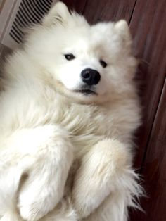 35 Samoyed Saturday Samoyed Photos Who doesnt love cute dogs and Samoyed are some of the cutest. Animals And Pets, Baby Animals, Funny Animals, Cute Animals, Cute Puppies, Cute Dogs, Dogs And Puppies, Shitzu Puppies, Pomeranian Puppy