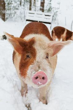 A beautiful little Hereford hog playing in the snow